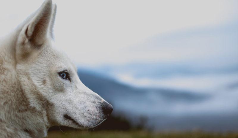 Husky Prayer