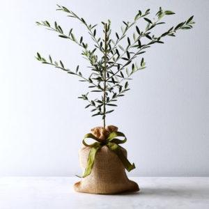 Olive_Tree_Sapling